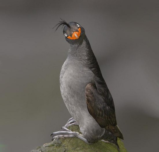 Crested_Auklet_15
