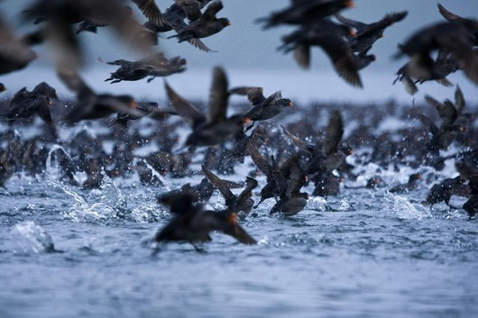 Crested_Auklet_12