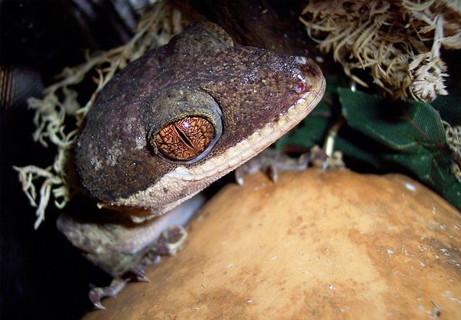 papua-new-guinea-new-species-wwf-giant-bent-toed-gecko_37037_big