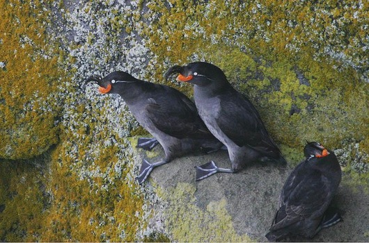 Crested_Auklet_8