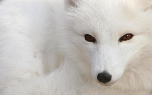 polar-fox_1920_x_1200