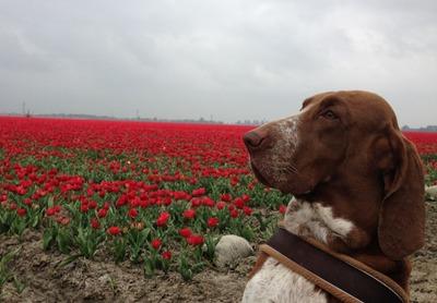 tulpen2015_4