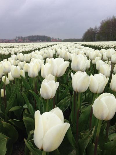 tulpen2015_5