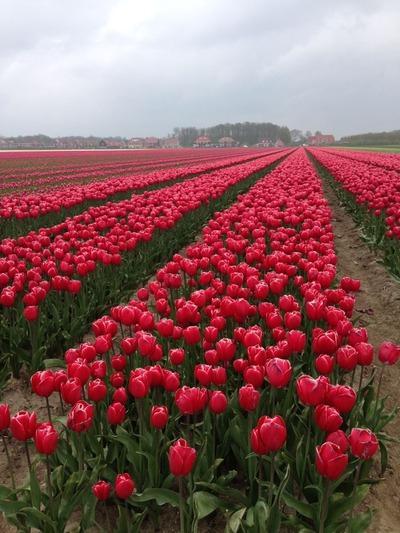 tulpen2015_2