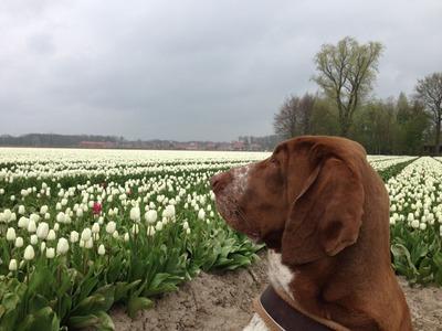 tulpen2015_3