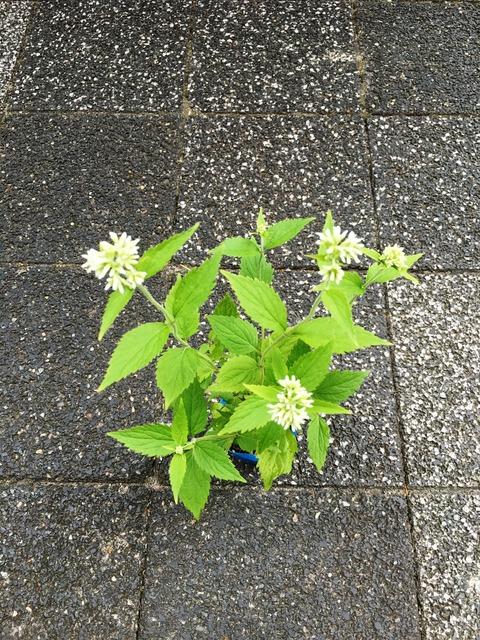 玉咲きフジバカマ