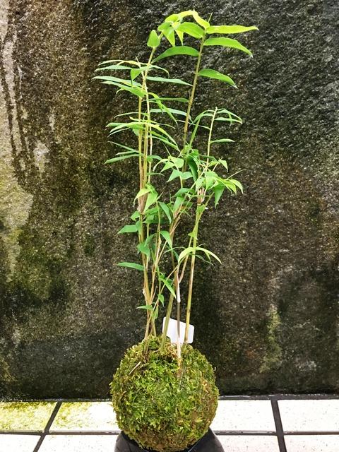こけ玉鳳凰竹