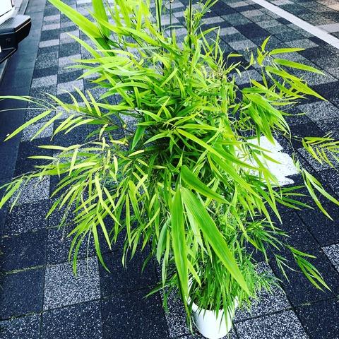 かぐや姫ブラジル竹