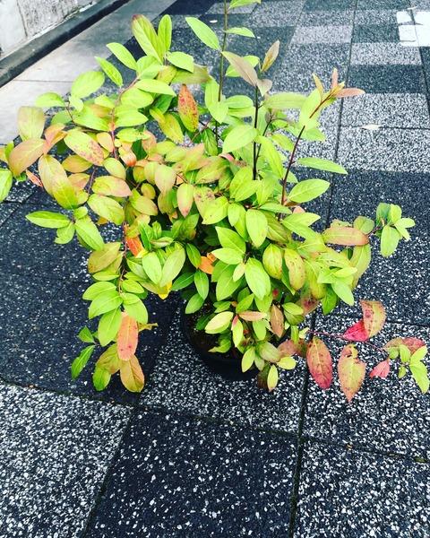 こばのずいな照り葉