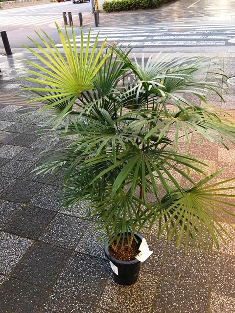 雲南姫棕櫚竹みどり姫