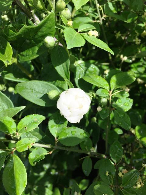 五月梅の花