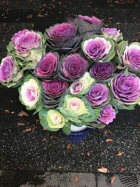 オドリ葉牡丹鉢