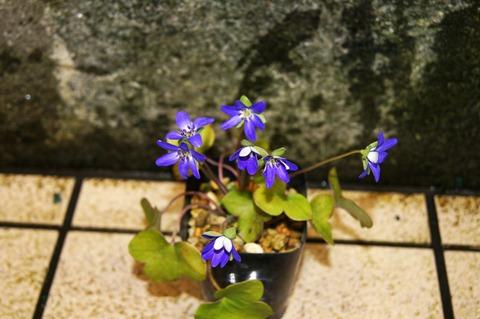 雪割草紫 (1)