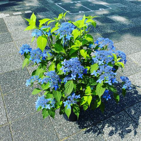 ヤマアジサイ7寸普賢の花