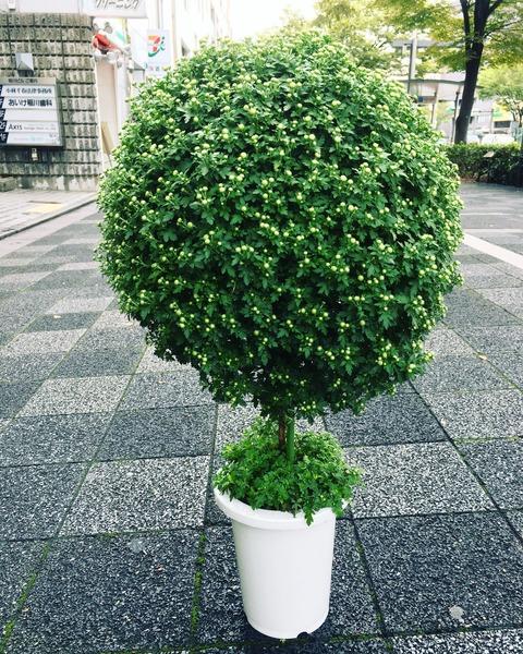 スタンド菊鉢