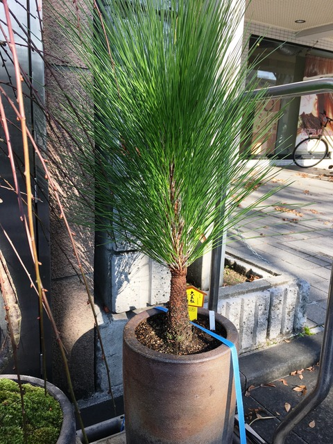 大王松鉢植え