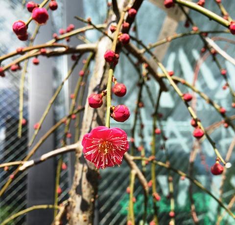 シダレウメ赤花
