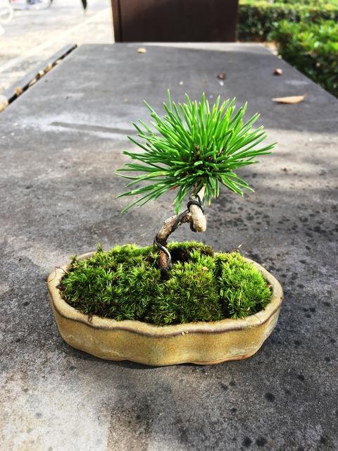 三河黒松盆栽