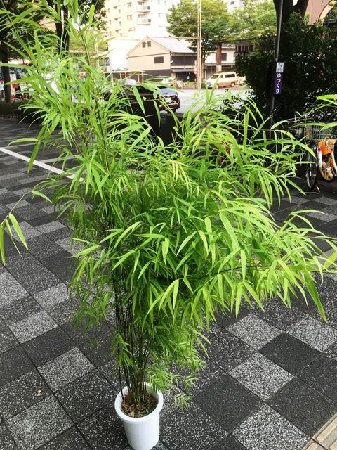ブラジル竹