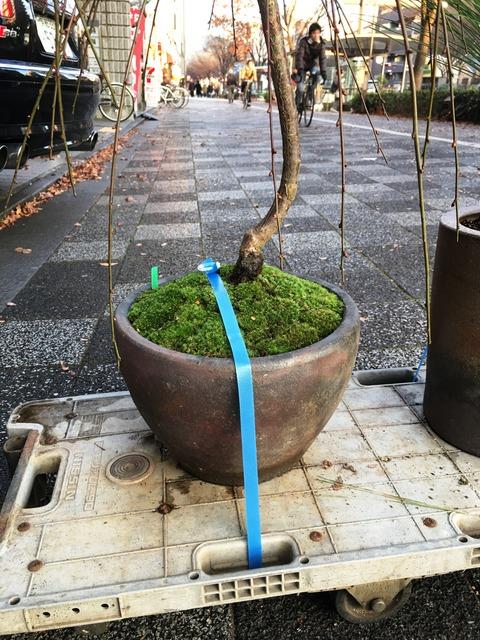 シダレ梅鉢