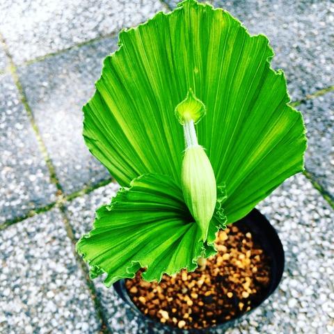 日本熊谷草