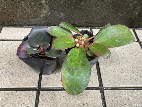 赤花ヒマラヤユキノシタ