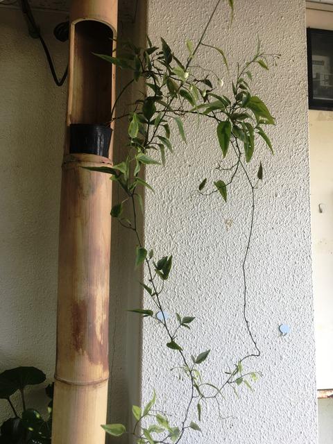 斑入ヤマホロシ花