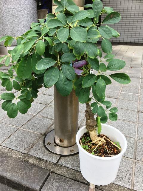 アケビ五葉紫