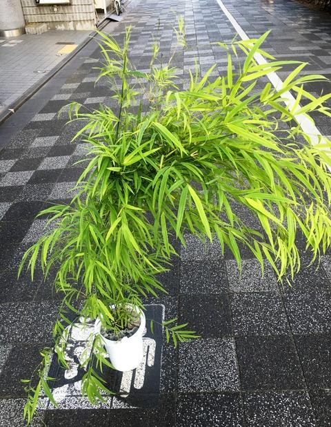 かぐや姫ブラジルの竹