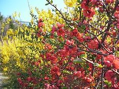 09-04-09花見山 レンギョウと木瓜