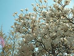 09-04-09花見山 モクレン