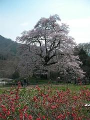 09-04-13川俣町・駒ザクラと木瓜