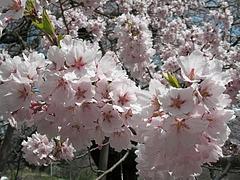 09-04-13川俣町・駒ザクラ アップ