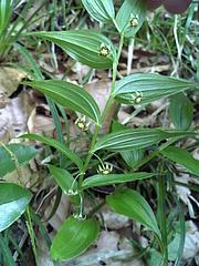 08-05-28タケシマランの花