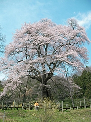 09-04-13川俣町・駒ザクラ