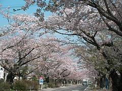 09-04-13富岡町・夜ノ森公園
