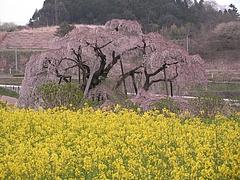 09-04-20三春滝桜