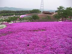 09-05-11平田村・ジュピアランドの芝桜
