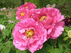09-05-11須賀川ぼたん園