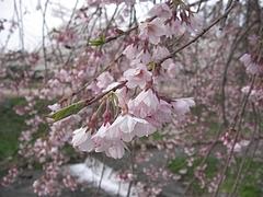 09-04-24猪苗代・観音寺川のサクラ