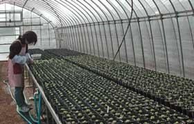 ロベリアを植えています。