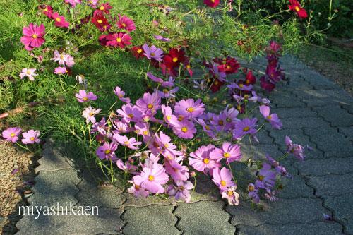 台風で倒れたけど元気に咲いているコスモス
