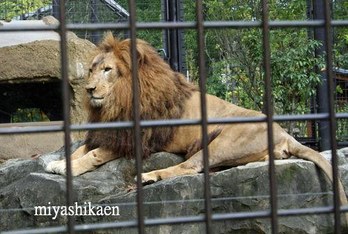 石川動物園のライオン
