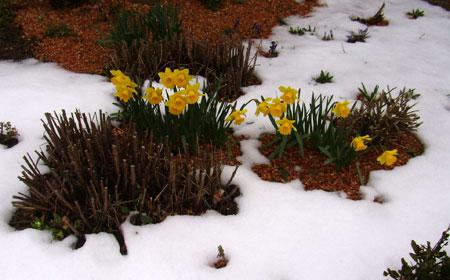 雪の中の水仙