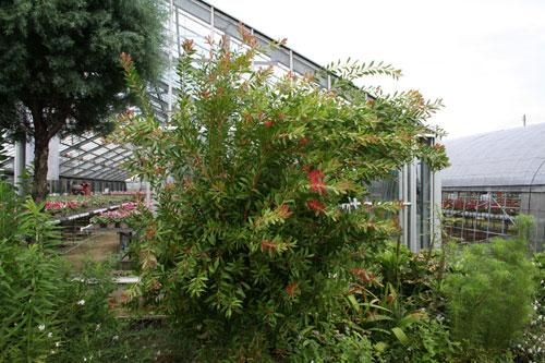 金宝樹(ブラシの木)