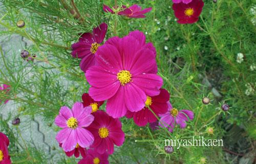 ガーデンのコスモス 09.10.06