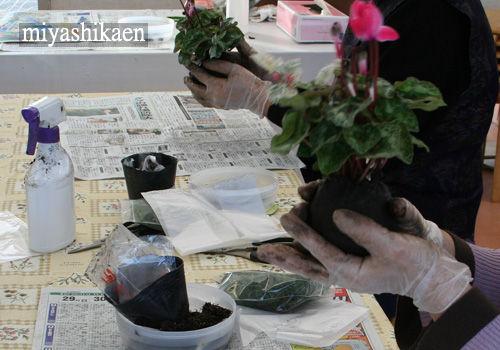 ガーデンシクラメンの苔玉作り教室