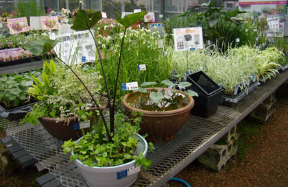 水生植物のコーナー