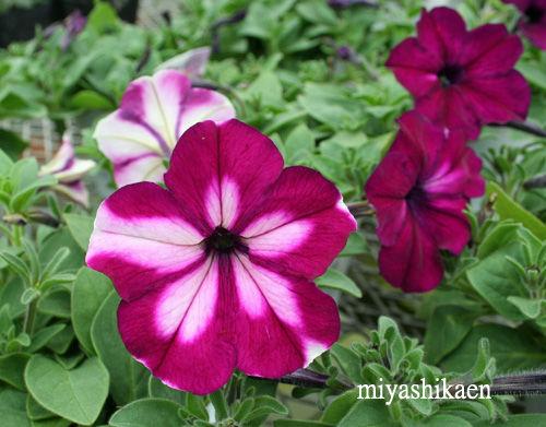 変わり咲きペチュニア「夢のしずく」