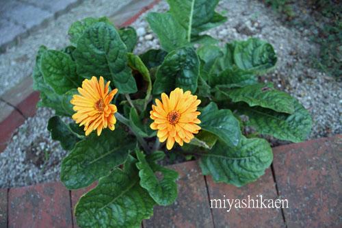 ガーデンで咲き始めたガーベラ 09.09.29